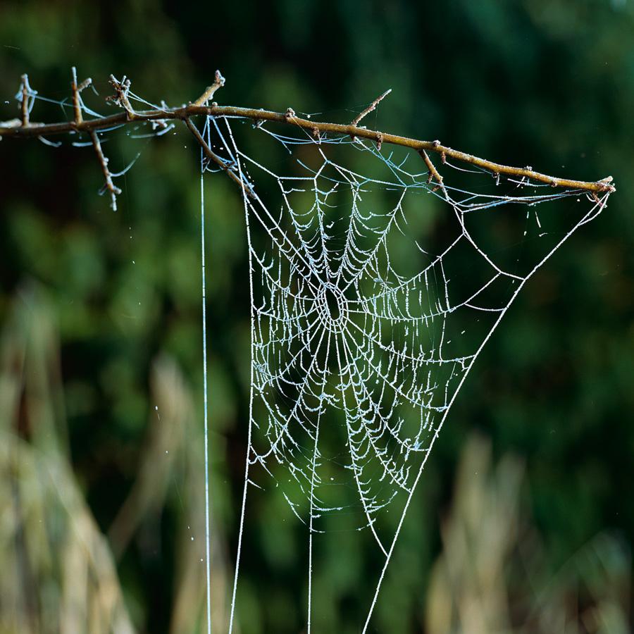 Spinnenweb-Glimmen