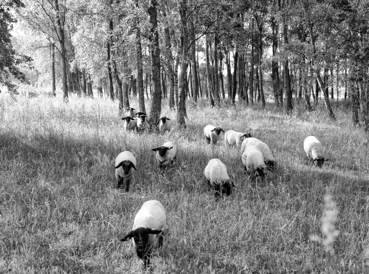 schapen_2