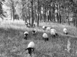 schapen_2.jpg