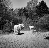 witte_paarden_1234_1_van_1_.jpg