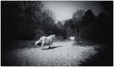 witte_paarden_123_1_van_1_.jpg