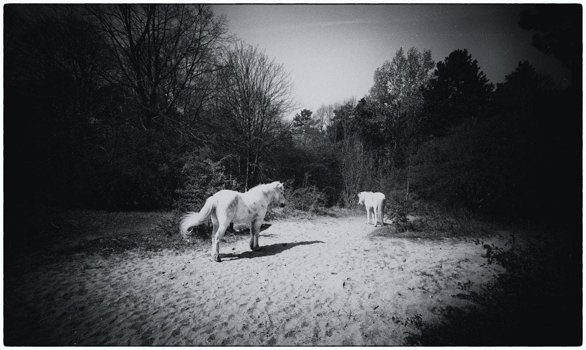 witte_paarden_123_1_van_1_